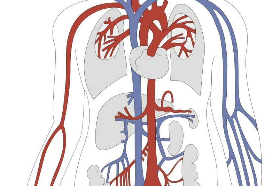 Artérias e Veias