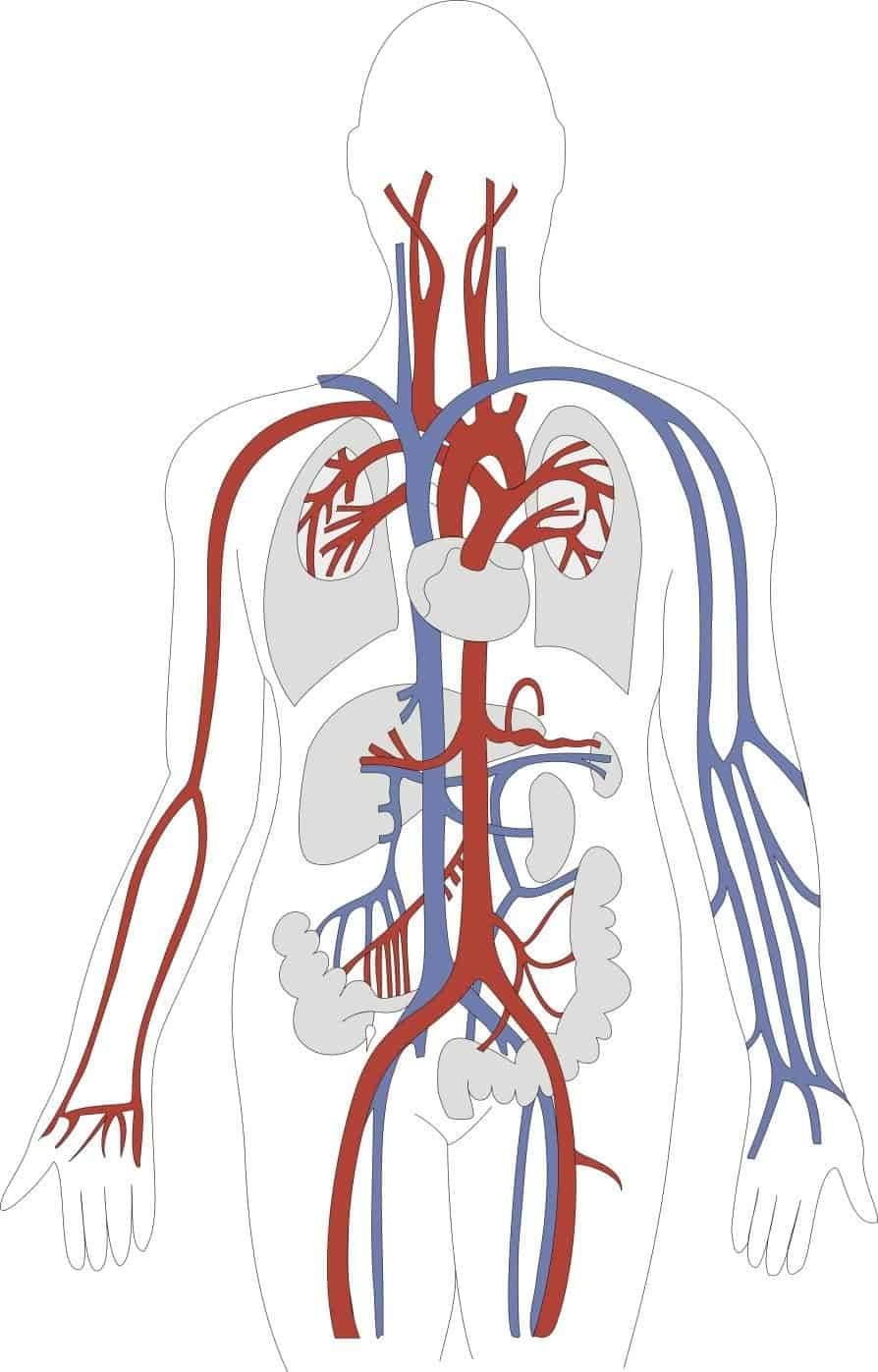 Location Of Heart In Human Body in addition Cardiovascular Tech Salary also Hypertension likewise The Best 8 Fruits For Better Health together with Afib heart conduction system. on blood vascular system