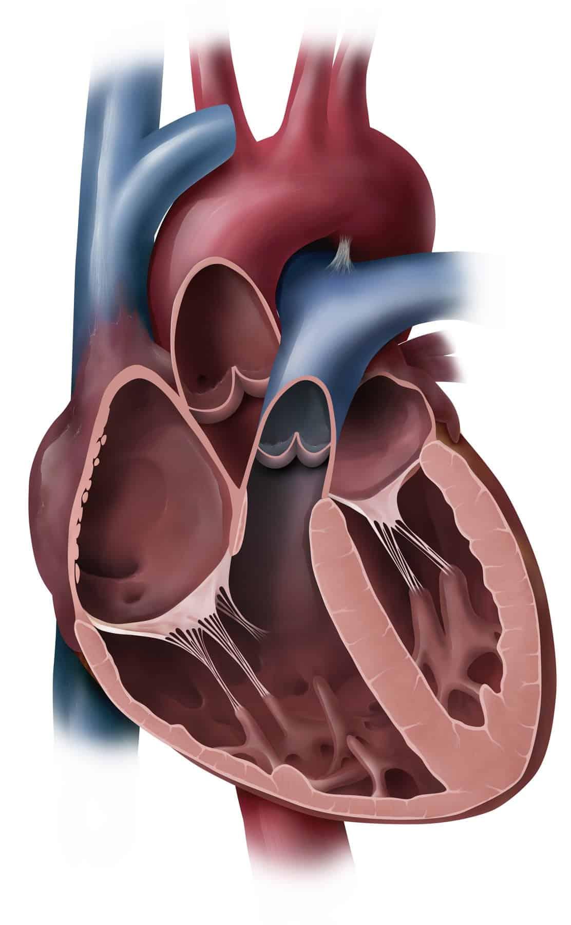 heart-coronal-cut