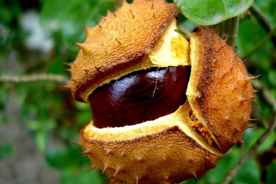 Castanha-da-índia: suplemento para varizes